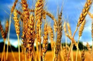 wheat_1